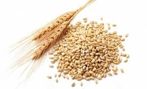durum wheat-1